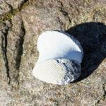 Beide Schalenseiten einer fossilen Muschel