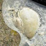 Versteinerter , fossiler Muschelabdruck (Spondylus?) im Feuerstein