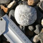 Atraktives Stück eines versteinerten Seeigels