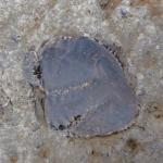 Abdruck mit Schale eines Schwanzteil eines Trilobiten