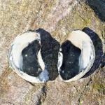 Geschnittene und polierte Dickmuschel Auster Pycnodonte vesicularis versteinert