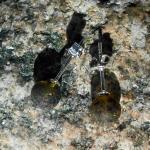 Ohrstecker Perlen aus unpoliertem Moorbernstein