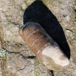 Stück von einem Orthoceras Geradhorn
