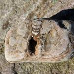Rötlicher Orthoceras Geradhorn im Kalkgestein