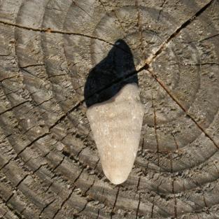 Stück einer versteinerten rugosen Einzelkoralle Kuhhornkoralle