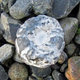 Versteinerter regulärer Seeigel