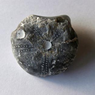 Unterseite von einem versteinerten Seeigel Steinkern