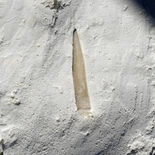 Stachel von einem versteinertem regulärer Seeigel,  Rachiosoma granulosa auf Kreide