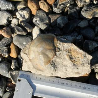 Schale eines grossen Schwanzschildes eines Trilobiten im Kalkgestein