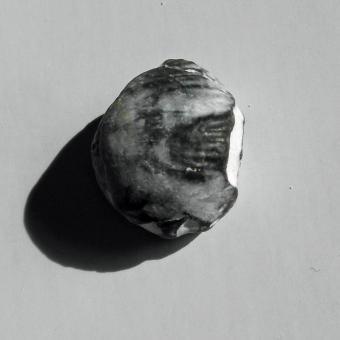 Versteinerter Armfüßer, Brachiopode